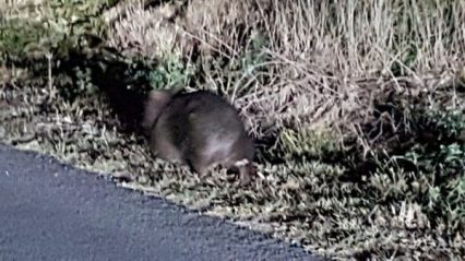 This is a wombat