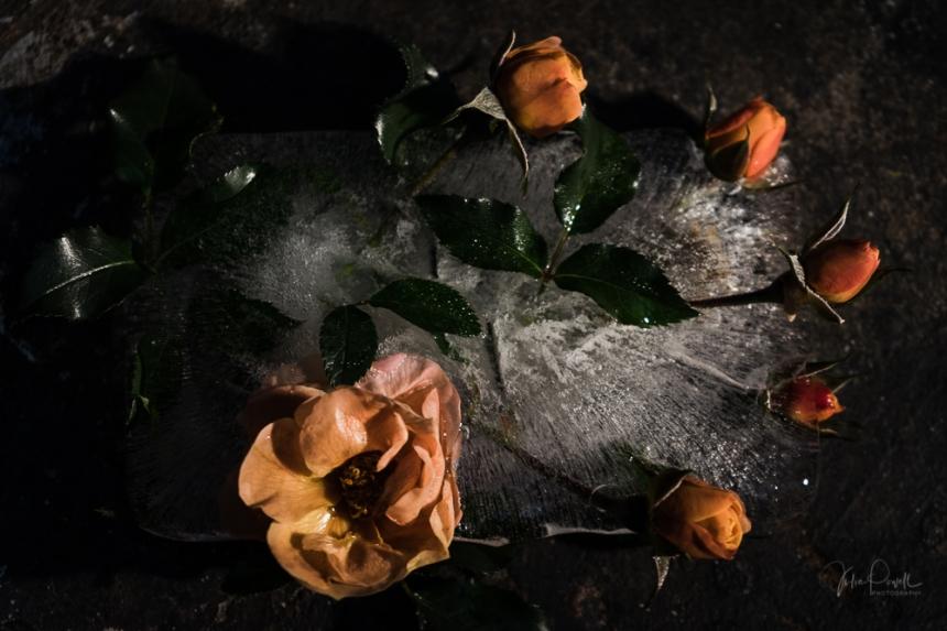Powell-Julie_Dark Rose-2