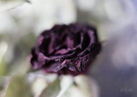 Powell-Julie_Rose-8