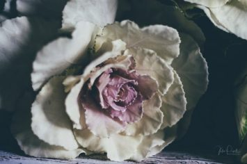 JuliePowell_Cabbage Rose-10