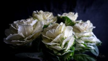 JuliePowell_Cabbage Rose-2