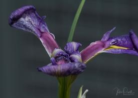 JuliePowell_Iris-0493