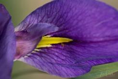 JuliePowell_Iris-0499