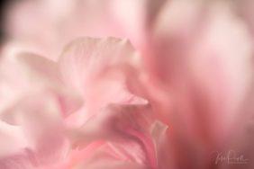 Julie Powell_Peonies Dark-9