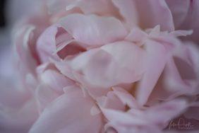Julie Powell_Peony-2