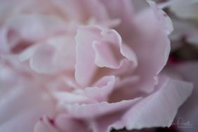 Julie Powell_Peony-3
