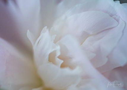Julie Powell_Peony-4