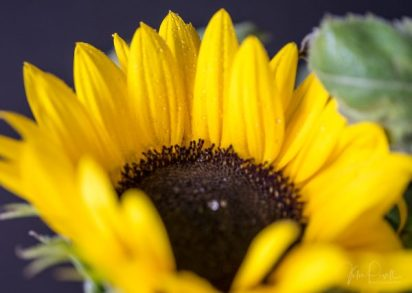 Julie Powell_Sunflowers-10