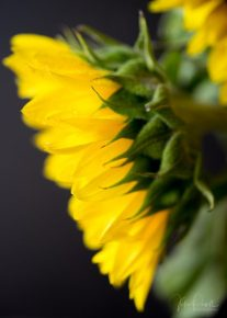 Julie Powell_Sunflowers-15