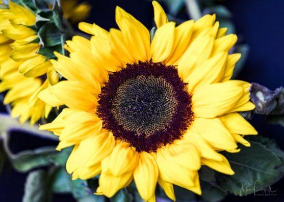 Julie Powell_Sunflowers-19
