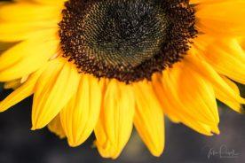 Julie Powell_Sunflowers-2