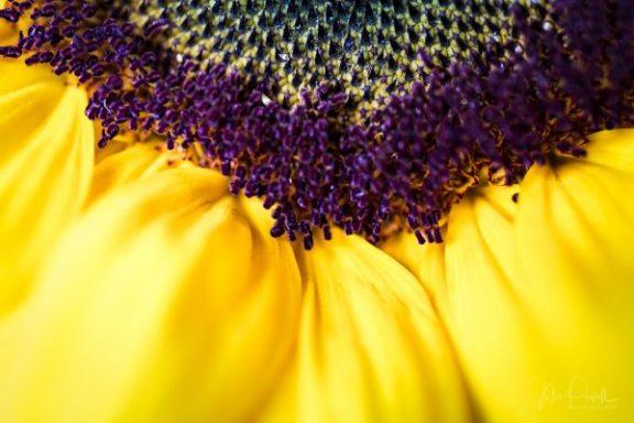 Julie Powell_Sunflowers-20