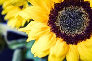 Julie Powell_Sunflowers-21