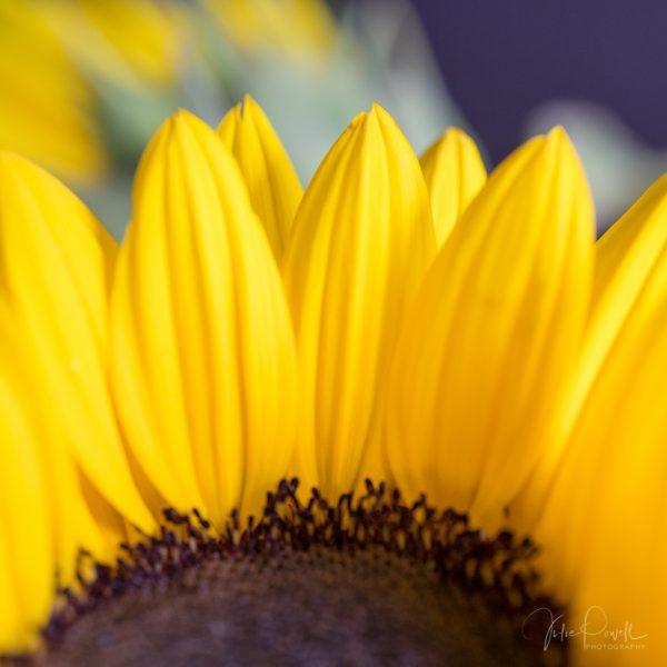 Julie Powell_Sunflowers-4