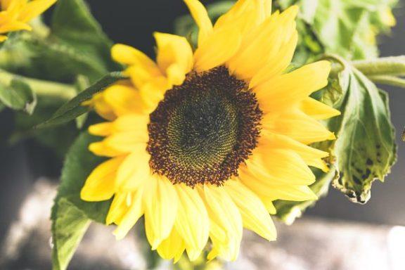 Julie Powell_Sunflowers