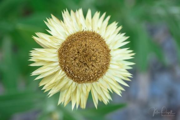 juliepowell_paper daisies-17