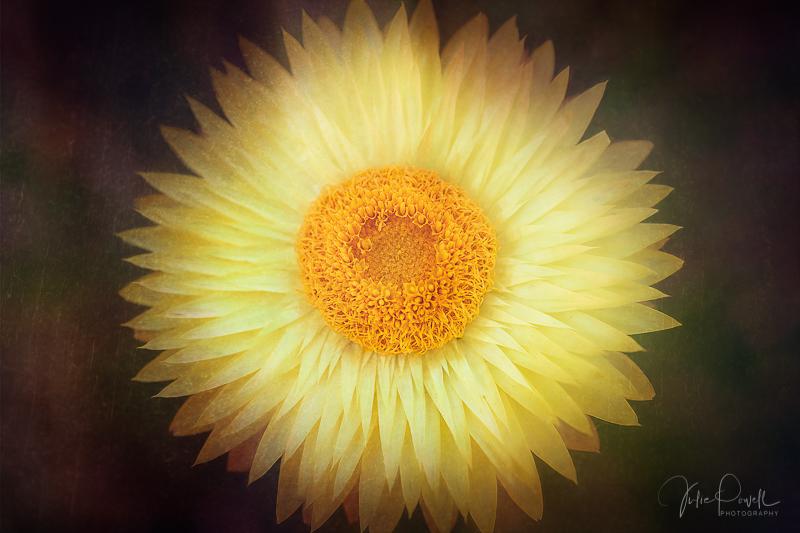juliepowell_paper daisies-18