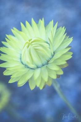 juliepowell_paper daisies-5