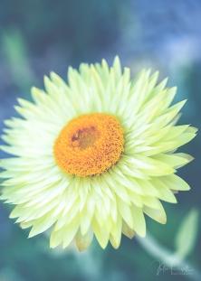 juliepowell_paper daisies-6