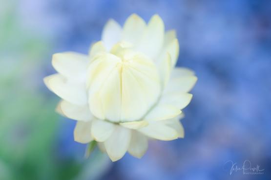 juliepowell_paper daisies