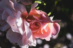 JuliePowell_DM Rose Garden-17