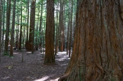 JuliePowell_Rotorua Redwoods-10