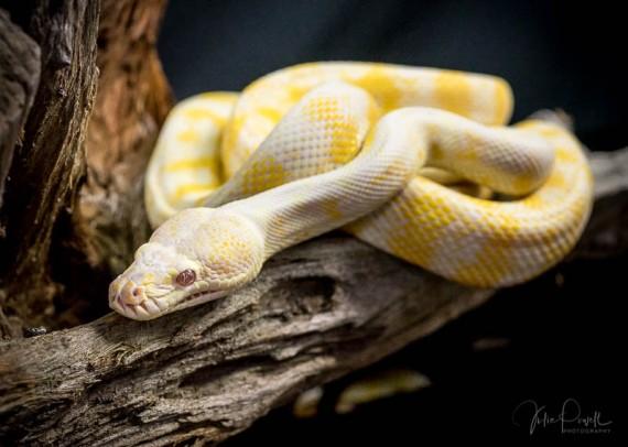 Julie Powell_Albino Python-2