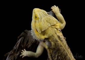 Julie Powell_Bearded Dragon-2