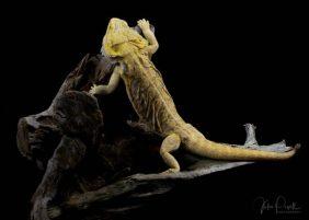 Julie Powell_Bearded Dragon-4