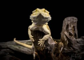 Julie Powell_Bearded Dragon-6