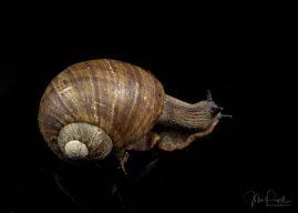 Julie Powell_Giant Panda Snail