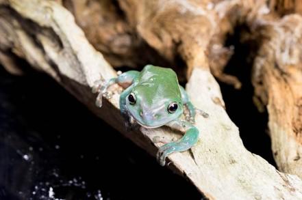 Julie Powell_Green Tree Frog-10