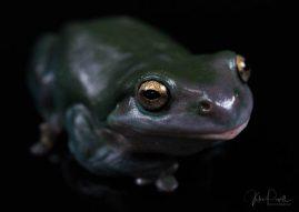 Julie Powell_Green Tree Frog-4