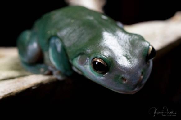 Julie Powell_Green Tree Frog-8