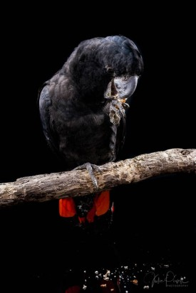 Julie Powell_Red Tailed Black Cockatoo-4