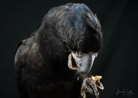 Julie Powell_Red Tailed Black Cockatoo-6