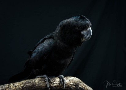 Julie Powell_Red Tailed Black Cockatoo