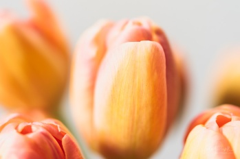 Julie Powell_Tulips-3