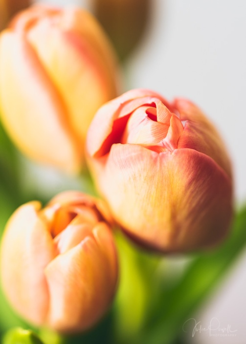 Julie Powell_Tulips-5