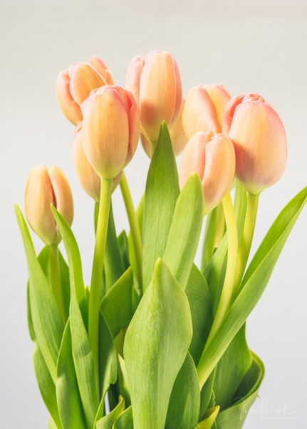 Julie Powell_Tulips-9