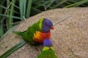 Julie Powell_Rainbow Lorikeet-2