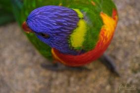 Julie Powell_Rainbow Lorikeet-4