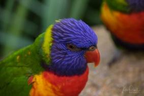 Julie Powell_Rainbow Lorikeet-5