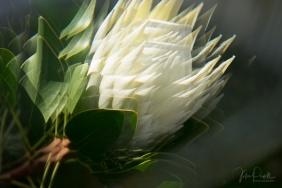 Julie Powell_Protea Fractals-9