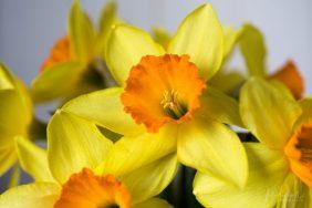 Julie Powell_Daffodils-3