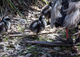 Cape Baron Geese - Chick