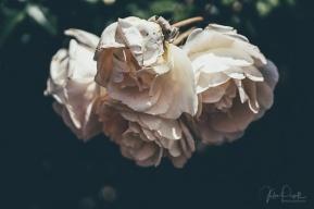 Julie Powell_Roses-10