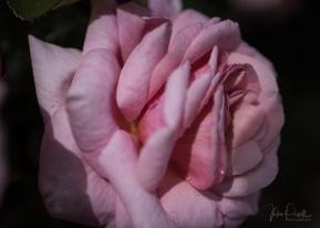 Julie Powell_Roses-11