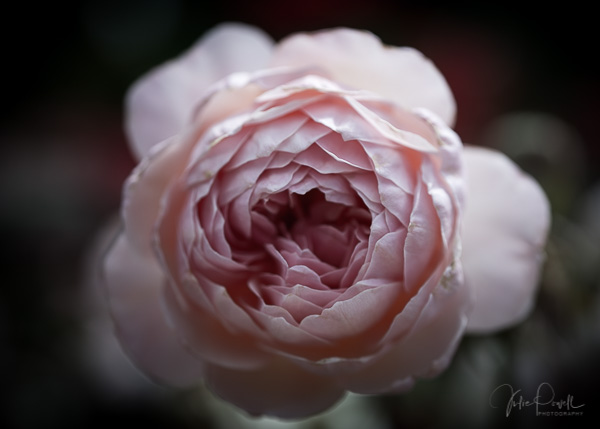 Julie Powell_Roses-13