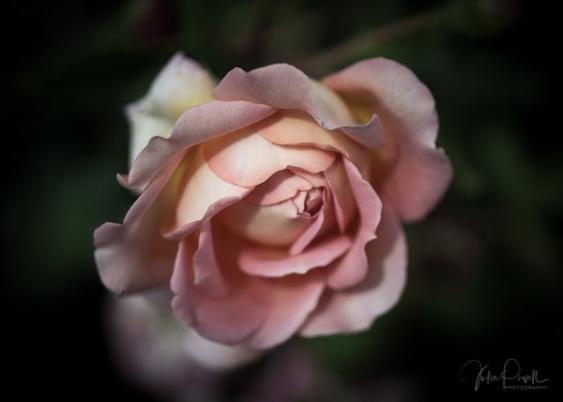 Julie Powell_Roses-14